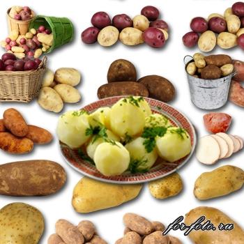 картофель клипарт: